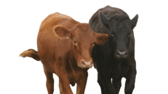 Stocker Feeder Cattle